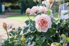 Rose Ville de Fontenay-aux-Roses